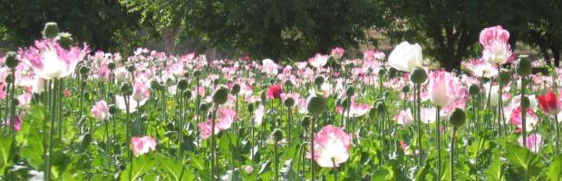 Punaisten peltojen määrä kasvaa Afganistanissa